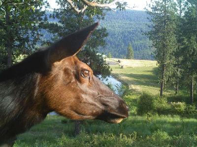 Elk Bait