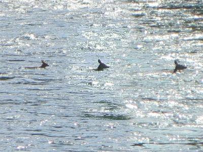 Deer Swim