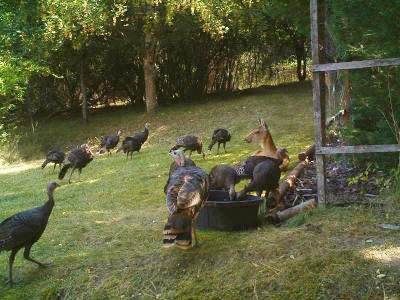Thanksgiving 2016 Surrounded by Turkeys