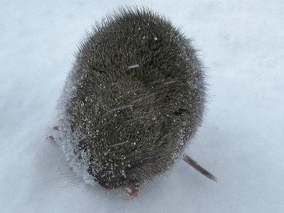 Snow Vole